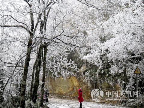 24日,受強寒潮影響,廣西大明山風景區降下鵝毛大雪,銀裝素裹.