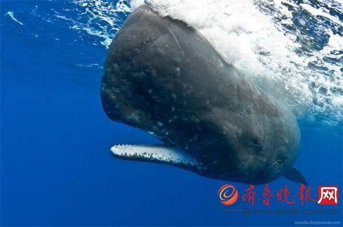 世界上最大的蓝鲸鱼