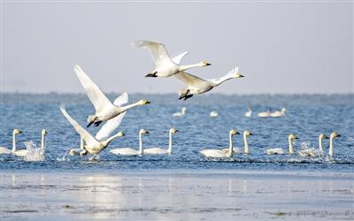 去冬南迁中,在河北迁安黄台湖逗留的国家一级保护动物东方白鹳。记者 史自强摄   核心阅读   迁徙是候鸟对自然环境变化的本能反应。在一年又一年南来北往的迁徙中,它们要面对人类的干扰、湿地的退化等种种因素的考验。   为保护候鸟,近年来,不少地区通过立法保护湿地、退耕还林还湿、改善湿地水质等措施,优化它们的生存环境,为人与这些长着翅膀的朋友和谐相处创造了更好的条件。   2月22日,湖南东洞庭湖国家级自然保护区工作人员观测发现,随着气温回暖,一些在那里越冬的候鸟开始聚集,觅食储备能量,为长途跋涉做好准