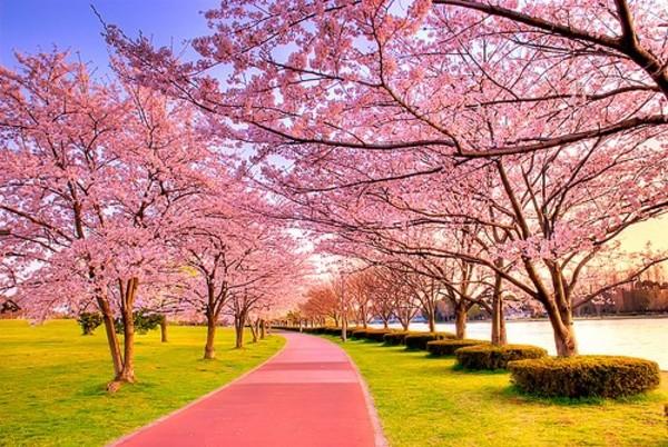 武汉樱花开得正美 七个赏花点公交出行攻略发布