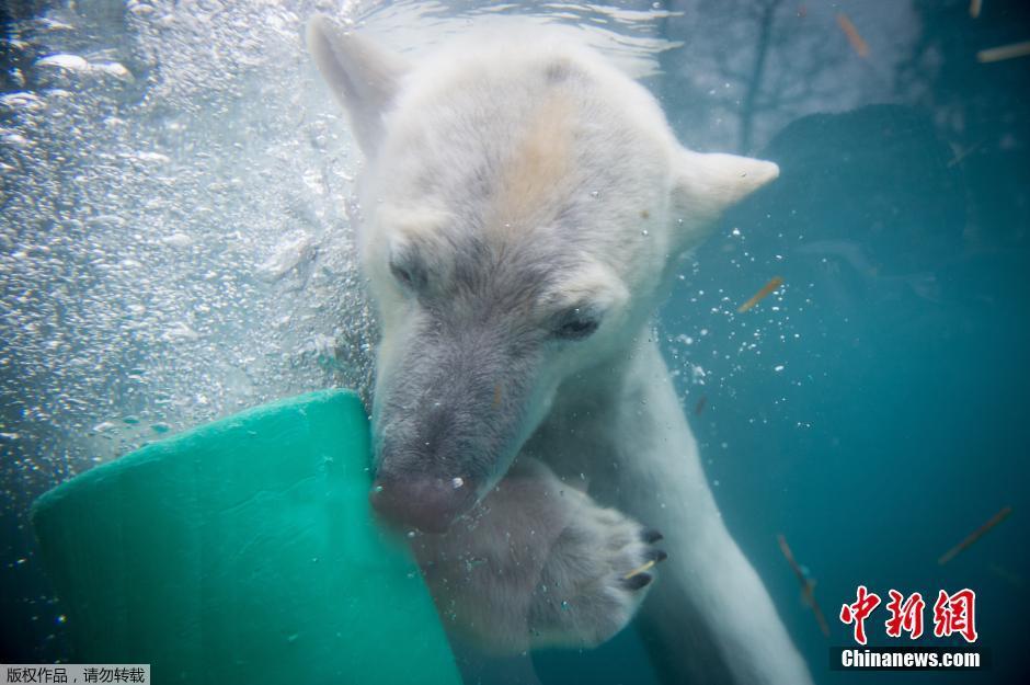 法国动物园北极熊在水中玩耍萌态尽显