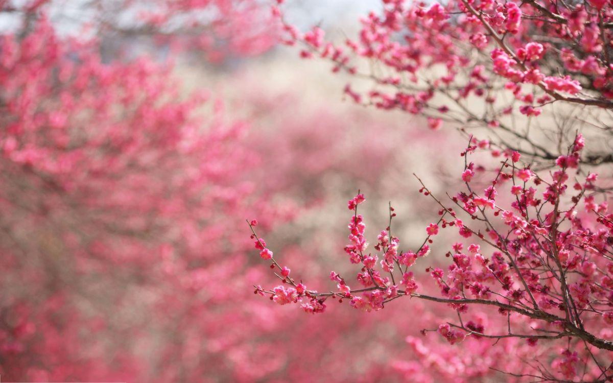 """根据日本气象株式会社发布的2016年第一波樱花开放时间预测,今年日本樱花季由南到北约从3月下旬到5月上旬逐渐来临。3月下旬以后,东京、大阪、福冈、京都、奈良等地的樱花将次第开放,迎来最佳观赏季。事实上,除日本以外,韩国也有别具特色的樱花景观,济州岛、首尔汝矣岛都是不错的赏樱之地。旅游市场上各赏樱路线也已陆续推出,目前途牛上线的""""3月热玩推荐""""、""""日韩樱花季""""、""""当季热门·东京""""等多个赏樱专题,把日本东京、京都、大阪"""