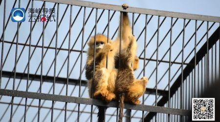 厦门海沧野生动物园迎来两只金丝猴