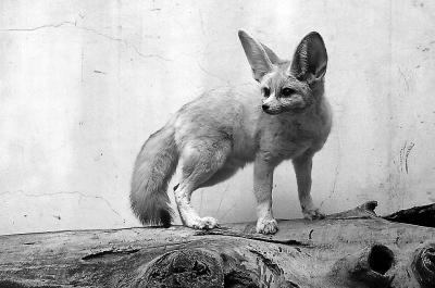 10只耳廓狐落户福州 系《疯狂动物城》芬尼克原型