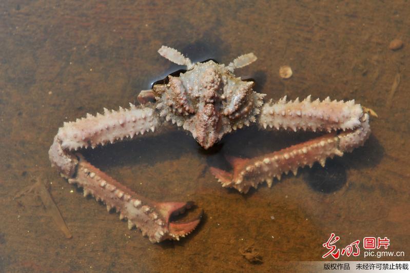 青岛海滩再现奇葩生物 长腿巨臂大过身体