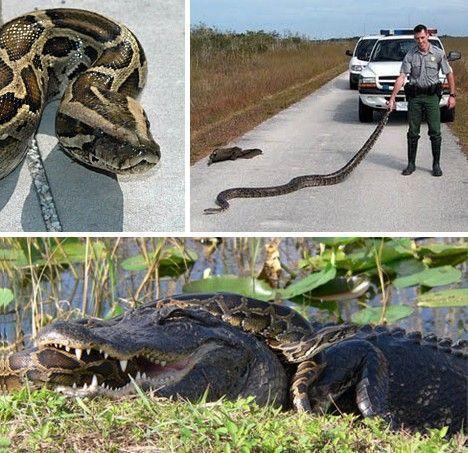 在美国佛罗里达州,据当局统计,有3万多条缅甸蟒蛇出没于沼泽地国家