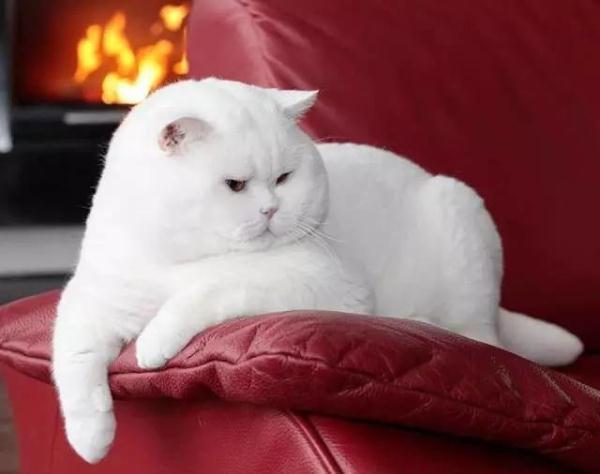 (来源:光明网)   (原标题:发现一头非常稀有的猫猪 呆萌呆萌的!