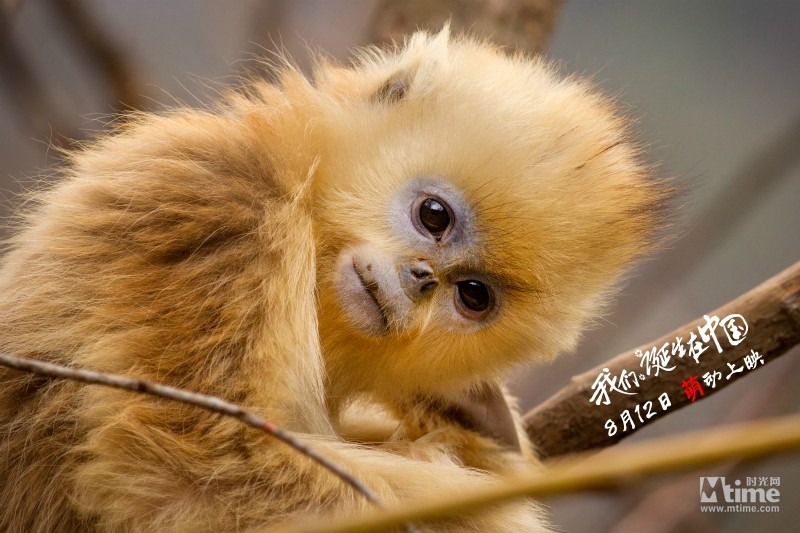 《我们诞生在中国》全国院线上映 盘点影片的可爱动物