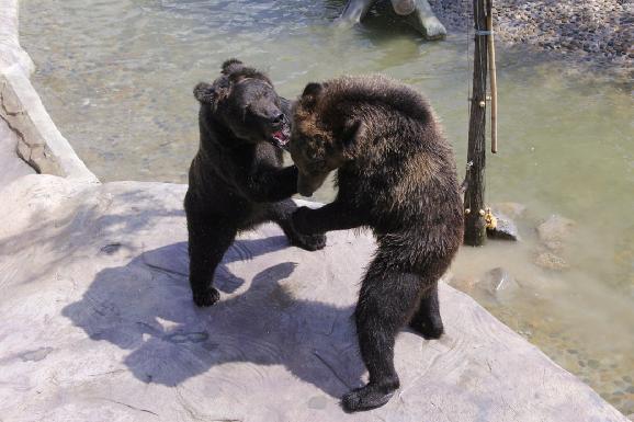 多样行为训练展现动物天性 保证动物行为健全 为保证人类圈养状态下的动物健康生活,厦门灵玲国际马戏城加强各类动物的健康行为训练,人工饲养下的棕熊等猛兽动物虽然丧失了部分野性,但仍具有最原始的兽性特征。通过场馆的拟大自然的生态建造结合健康的行为训练,在保证安全健康的前提下,逐渐激发它们自行获取食物的能力。后续,厦门灵玲国际马戏城将综合各场馆条件、自身技术力量、依据棕熊以及其他动物的生活习性与行为特征,采取科学、健康、持续、多样的动物行为训练,帮助动物更好地适应动物园的生活,让动物与人更加和谐相处。