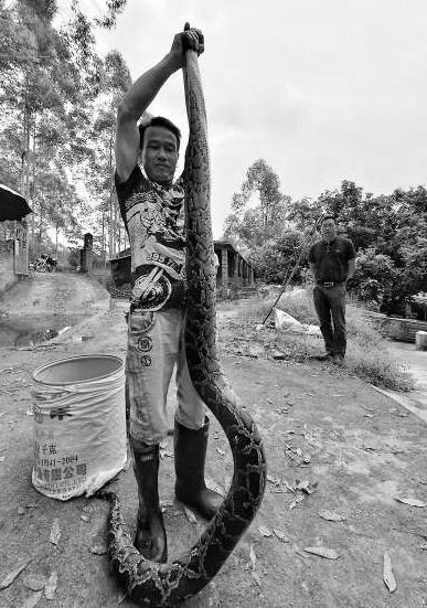 2.7米村民误入蟒蛇村庄徒手上演生擒大战性感星球大战人蛇图奥拉图片
