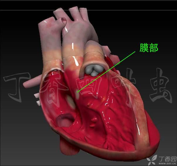 心脏解剖插图与结构 3d模型与解剖图(6)