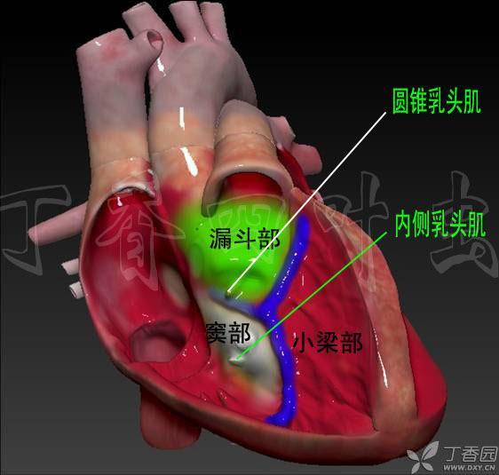 心脏解剖插图与结构 3d模型与解剖图(5)