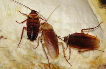 蟑螂爬过的衣服能穿吗