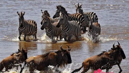 百万大军天堂之渡 堪称全非洲之最 也是世界自然奇观之一