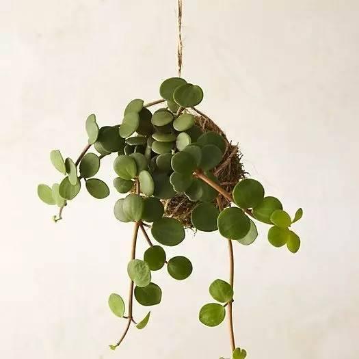 盆景 盆栽 藤蔓 植物 525_525