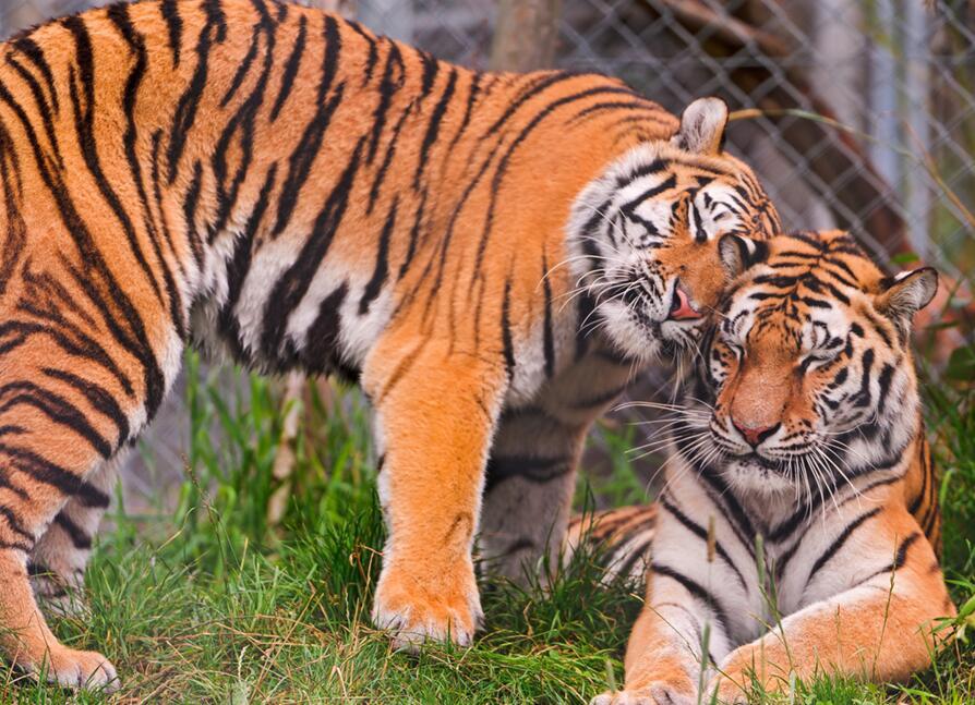 大型猫科动物,全身棕黄色的皮毛上有黑色相间