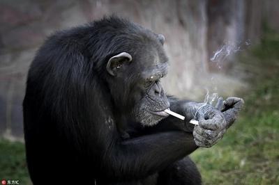 朝鲜动物园19岁大猩猩抽烟动作熟练