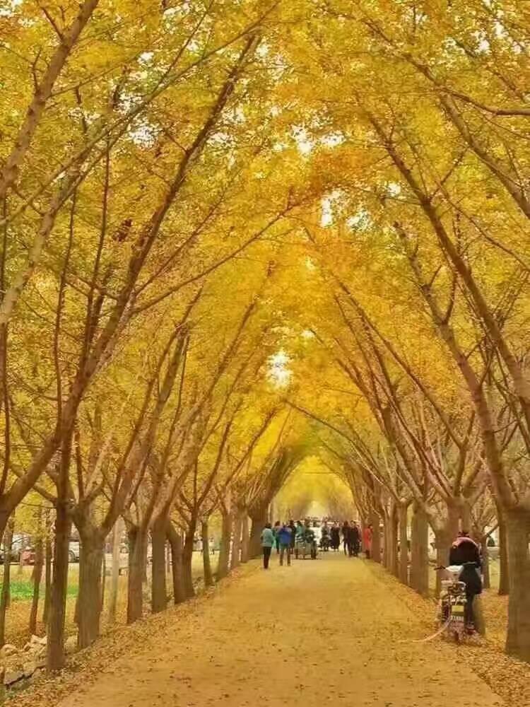 成为银杏时光隧道又一道亮丽的风景线.