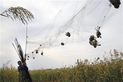 天下 国内 国内社会 >> 正文  据新华社电 内蒙古有数百只天鹅被捕杀