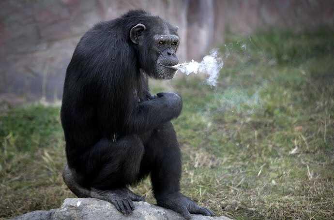 也有国外游客表示,孩子们看到猩猩抽烟,是一件极为不好的事,因为他们会模仿。   (来源:东方网)   (原标题:为吸引游客 朝鲜一动物园对黑猩猩做了人神共愤的事)   (原文地址:http://mini.eastday.com/a/161114141340097.html)