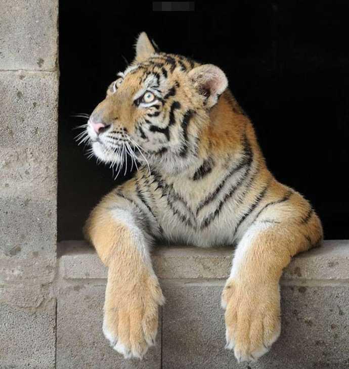 瘦弱到只有13公斤的幼虎 8个月后终于像是一只健康美丽的老虎了!