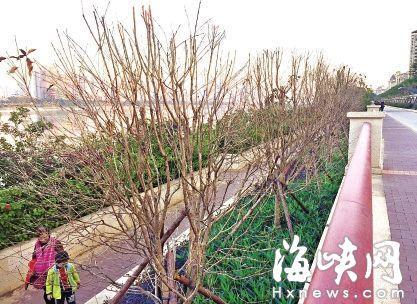 环南台休闲道近40棵桂花树枯死 专家称水没浇透