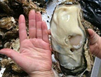 """厦门 泉州/日本福岛核灾区惊现""""巨型生蚝""""比巴掌还大"""