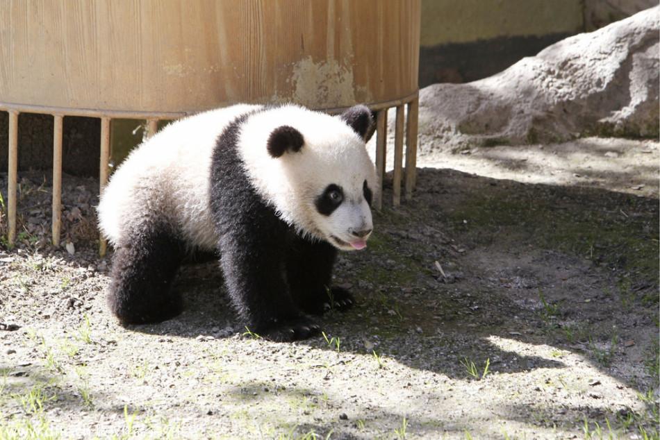 西班牙动物园熊猫 雌性大熊猫竹莉娜成为友谊的象征