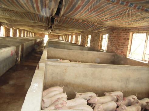 小型养猪场开始经营,并于2008年起进行扩建,由当初的一排猪舍逐步扩建