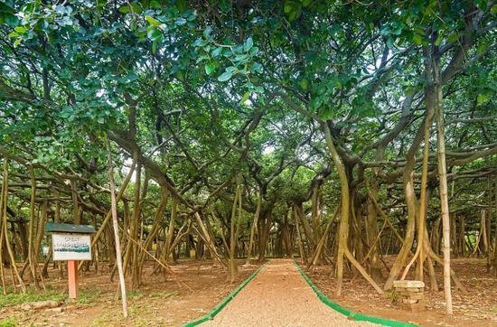 印度榕树独木成林 竟然有3600个气根
