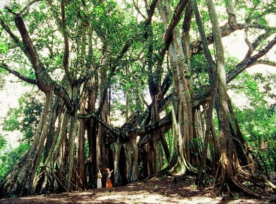 印度榕树独木成林 直径达411米其树冠为世界最大(3)