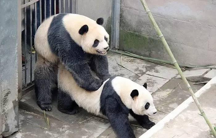 大熊猫真的不知道怎么做爱吗?
