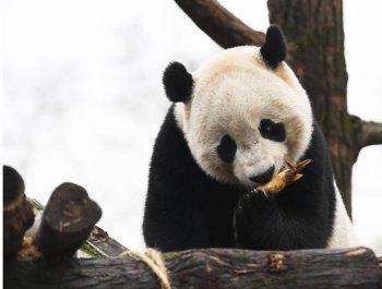 """海归大熊猫""""宝宝""""快乐入住新家并与公众见面"""