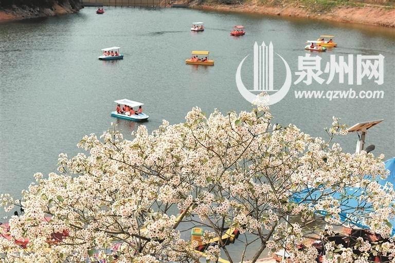 永春东里村油桐花争相绽放 游客享周末慢生活