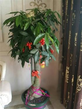 石狮一居民家里的盆栽发财树开花了 万中无一的几率