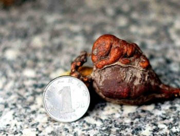 桂林一男子深山中挖出何首乌 形似腹中胎儿