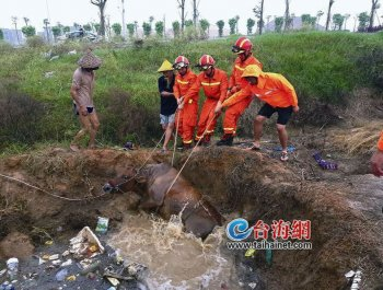 翔安新店后村一头母牛被困水坑 消防成功救援