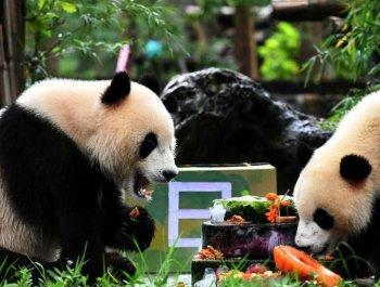 网红双胞胎大熊猫欢度两岁生日