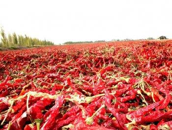 焉耆县红色产业:助农民增收 为环境增色