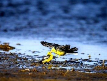 中国最大的盐湖吸引众多珍稀野生鸟类栖息过冬
