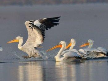 卷羽鹈鹕飞抵福建罗源湾越冬
