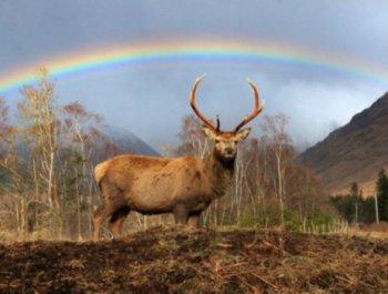 奇景!苏格兰两牡鹿彩虹下低头对角玩耍