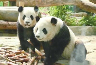 """""""特意带着老婆孩子来参观大熊猫的角美游客刘先生说,观看圆滚滚,萌萌"""