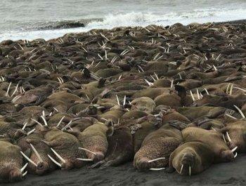 逾200头海象登陆阿拉斯加海岸或与觅食有关