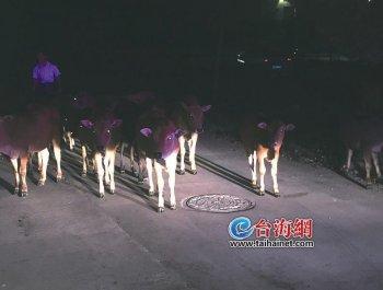 黑漆漆国道上 冒出39头黄牛