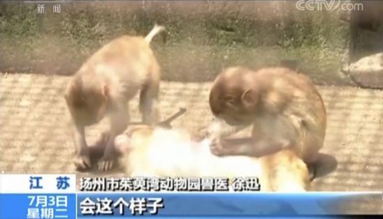 网红直播养猴牵出大案:5人被抓 20只猕猴死亡(3)