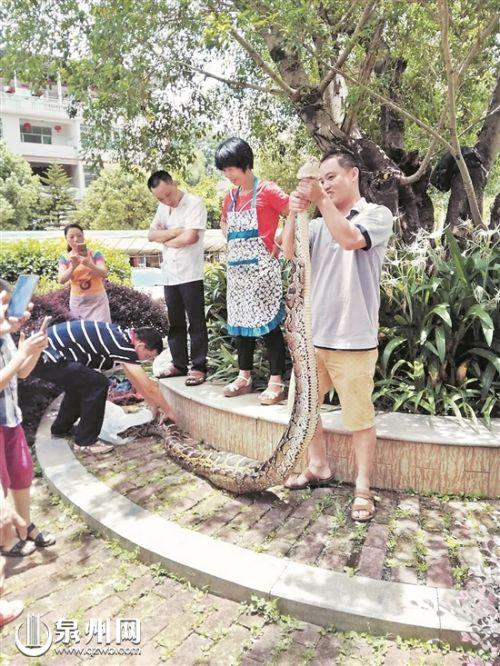 """泉州安溪:67斤大蟒蛇""""偷""""鸭子 将择日被放生"""