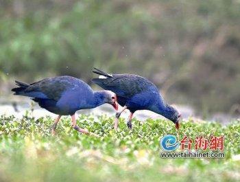 紫水鸡在厦繁殖过程首次被记录