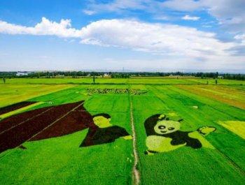 航拍新疆伊犁察布查尔县巨幅3D稻田画