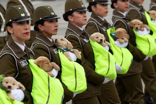"""外媒:""""萌犬""""抢镜智利阅兵式 窝在女兵怀中登场"""